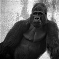 SIlverback Gorilla at SF Zoo