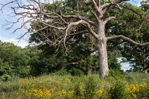 Dead Oak with Coneflowers