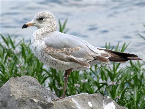 Ring-billed Gull Larus delawarensis 08