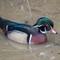Essex Duck: American Wood Duck WWT Llanelli