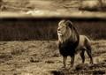 9 A3 Lion Plain BW Topaz Sepia22048ppi