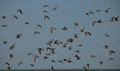 A flock of shorebirds 3