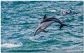Dolphin jumps for joy_1195
