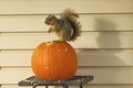 Squirrels destroyed all the decorative pumpkins in the neighborhood before Halloween