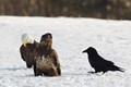Raven with eagles