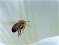 A Bee inside a White Flower