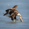 A juvenile bald eagle retrieves a fish from the ice after a seagull did most of the work, pecking away the ice around it.