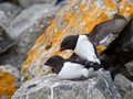 Little Auk in Spring