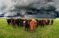 Cows Cowering Under Rare California Super Cell