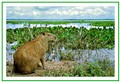 Capybara in the Llanos of Venezuela