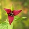 Red Trillium worked