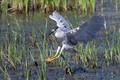 evan jenkins Black-crowned night heron (Nycticorax nycticorax)
