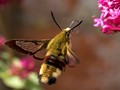 Hawk-Moth (Broad Bordered Bee -Hemaris fucilformis).