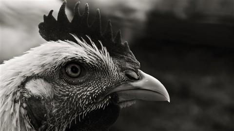 poultry portrait