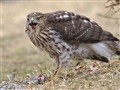 1st-year Cooper's Hawk finishing off Junco