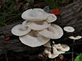 Esoteric wood fungi in Rabaul, New Guinea P1090425