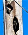 Pileated Woodpecker in a telephone pole on Sanibel Island, FL