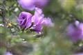 native hibiscus
