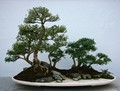 Bonsai and Sons