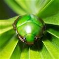 Bullet Beetle