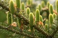 Pine-cones