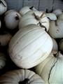 Colorless Pumpkin