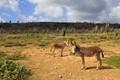 Free Donkeys on Bonaire