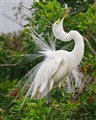Breat Egret Display