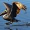Pelican Cruising The Salt Marsh 01