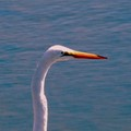 """A Great Egret Small """"r"""""""