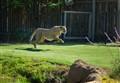 The Cheetah Run!