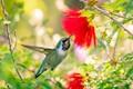 Anna's Hummingbird-4002