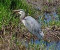 Blue Heron Eating a Fish