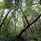 big basin california trees