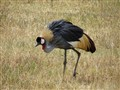 crown_crested_crane_tanzania