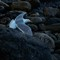 Gulls after lobster scraps