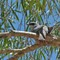 White Bellied Cuckoo Shrike