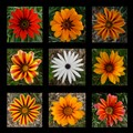 Daisy collage 3