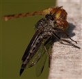 Robber fly eats Dragon's eye!