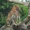 A pair of Cheetah's at Banham Zoo Norfolk.