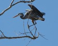 Blue Herron - Taking Off