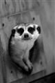 Meerkat Peek-a-Boo
