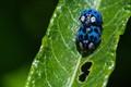 Blue Lady beetle