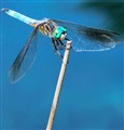 dragonfly on a reed