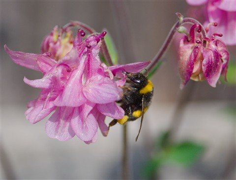 Bumblebee on Columbine
