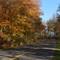Maple Leaves: