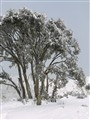 Snow encrusted snowgums