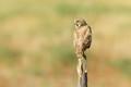 Crying Burrowing Owl