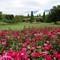 Chicago Botanica Gardens - Rose Garden