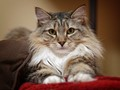 Shelby, Maine Coon